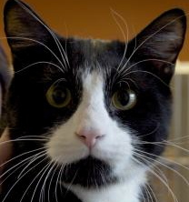 Boots, a young, mid-sized, domestic, short-haired cat would like to be your Valentine. 