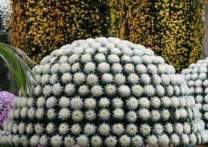 chrysanthemum_festival_